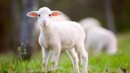 Lamb-iStock-665494268-16x9-e1559777676675