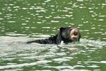 Oso A nadando