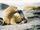 León marino de las Galápagos