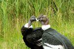 Condores