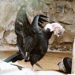 Condor 3