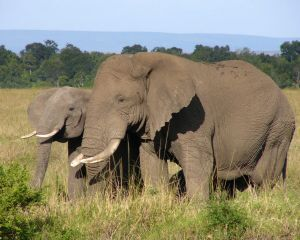 1024261 african elephant.jpg