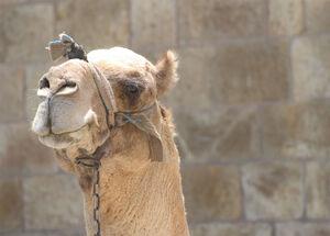 Camel-2133.jpg