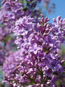 758689 lilac .jpg