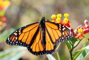 960509 monarch.jpg