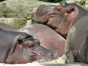 551221 hippopotamus.jpg
