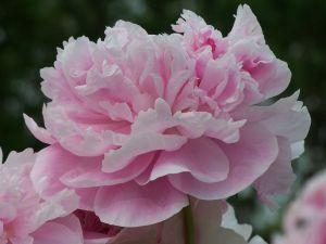 551984 pink carnation.jpg
