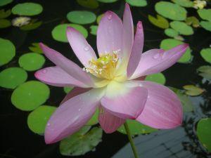 1024976 lotus.jpg