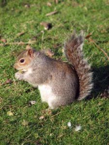 951353 eastern gray squirrel.jpg