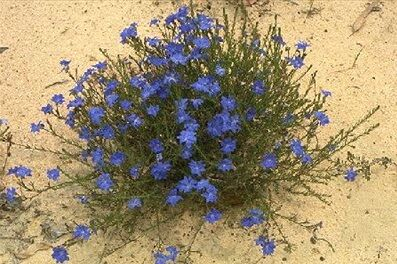 Biloba Flower.jpg