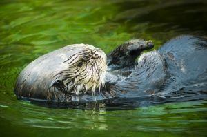 1021876 sea otter detail 2.jpg