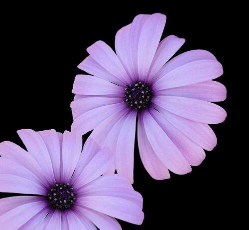 Mauve Flower.jpg