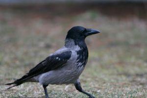 765431 a walking crow.jpg