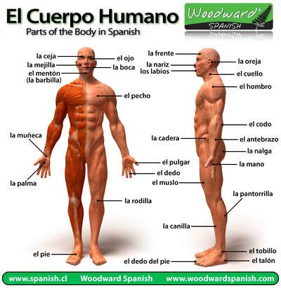 Partes-del-cuerpo-humano.jpg