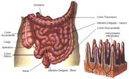 Intestinodelg02