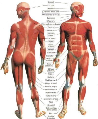 Musculos-del-Cuerpo-Humano.jpg