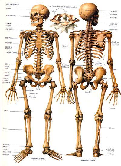 Huesos-cuerpo-humano-esqueleto.jpg