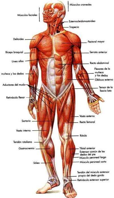Sistema-muscular.jpg