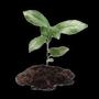 Emberlight sapling.png