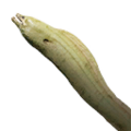 Icon Moray eel.png