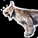 Island Lynx Carcass