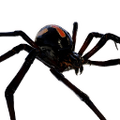 Icon pet Widow Black.png