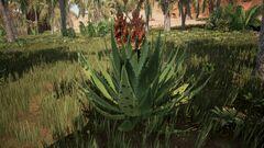 Aloe2.jpg
