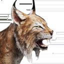 Island Lynx