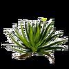 Feuille d'Aloe