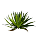Icon aloe leaves.png