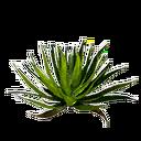 Folhas de Babosa