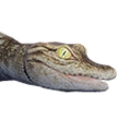 Icon baby Crocodile.png