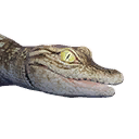 Crocodile Hatchling