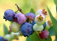 Thornberries