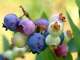 Thornberry (plant)