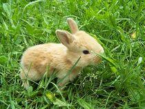 a typical Brown Gabbit