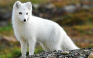 Arctic Fox Wallpapers 02