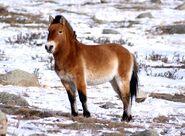 Wild-horses-takhi-in-winter