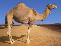 Arabian camel 1.jpg