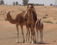 CamelFamily