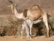1200px-Camelcalf-feeding