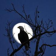Fw-eagle in moonlight
