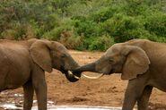 Elephant mating ritual 3
