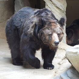 Tibetan-blue-bear.jpg