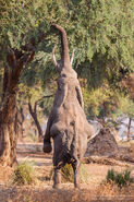 African-Elephant-Lower-Zambezi-Zambia-632