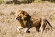 Lionkill marcuseichelberg kenya (7)