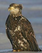 Bald Eagle m17-68-289 l 0