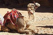 Dromedary-camel-2a-1516