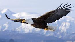 Hd-images-of-hd-bald-eagle-dowload.jpg