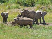 2560px-African Elephants (Loxodonta africana) and White Rhinos (Ceratotherium simum) (7035695177)